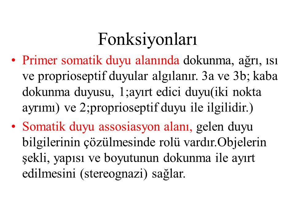 Fonksiyonları Primer somatik duyu alanında dokunma, ağrı, ısı ve proprioseptif duyular algılanır. 3a ve 3b; kaba dokunma duyusu, 1;ayırt edici duyu(ik