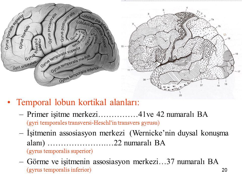 20 a Temporal lobun kortikal alanları: –Primer işitme merkezi……………41ve 42 numaralı BA (gyri temporales transversi-Heschl'in transvers gyrusu) –İşitmen