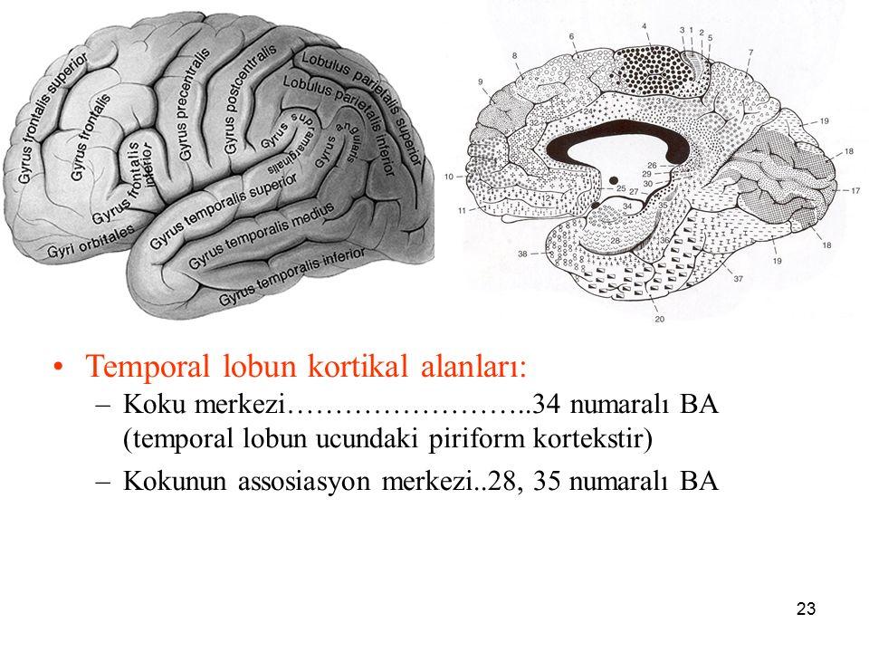 23 a Temporal lobun kortikal alanları: –Koku merkezi……………………..34 numaralı BA (temporal lobun ucundaki piriform kortekstir) –Kokunun assosiasyon merkez