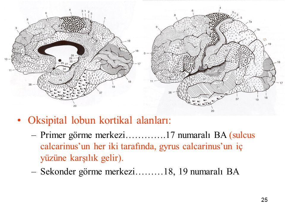 25 a Oksipital lobun kortikal alanları: –Primer görme merkezi………….17 numaralı BA (sulcus calcarinus'un her iki tarafında, gyrus calcarinus'un iç yüzün