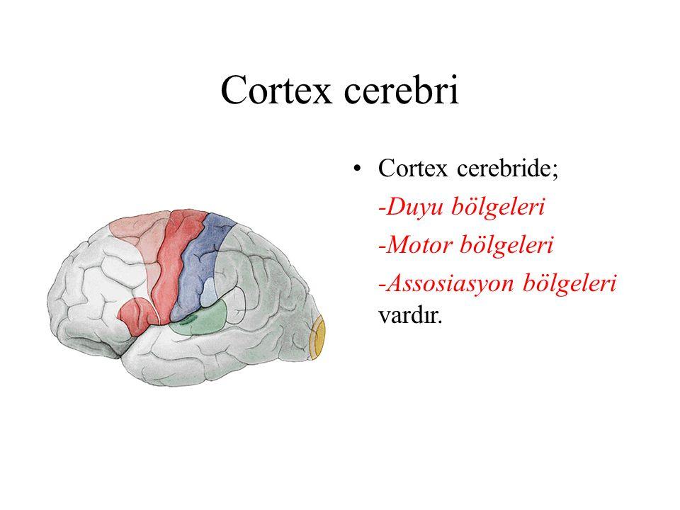 Cortex cerebri Cortex cerebride; -Duyu bölgeleri -Motor bölgeleri -Assosiasyon bölgeleri vardır.
