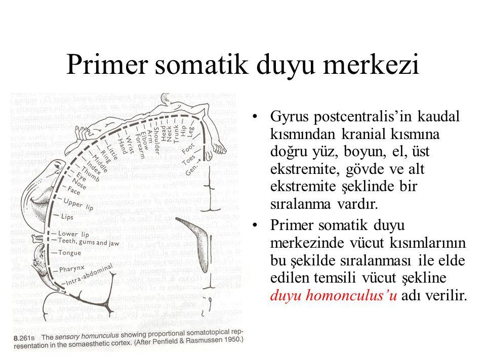 Primer somatik duyu merkezi Gyrus postcentralis'in kaudal kısmından kranial kısmına doğru yüz, boyun, el, üst ekstremite, gövde ve alt ekstremite şekl