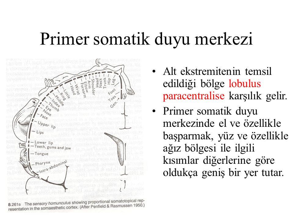 Primer somatik duyu merkezi Alt ekstremitenin temsil edildiği bölge lobulus paracentralise karşılık gelir. Primer somatik duyu merkezinde el ve özelli