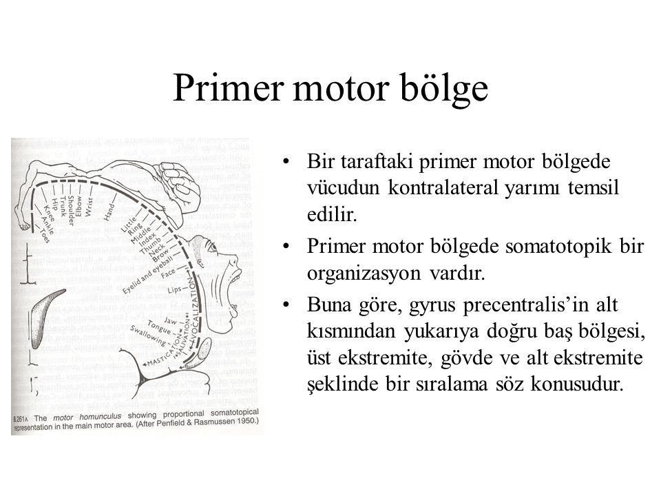 Primer motor bölge Bir taraftaki primer motor bölgede vücudun kontralateral yarımı temsil edilir. Primer motor bölgede somatotopik bir organizasyon va