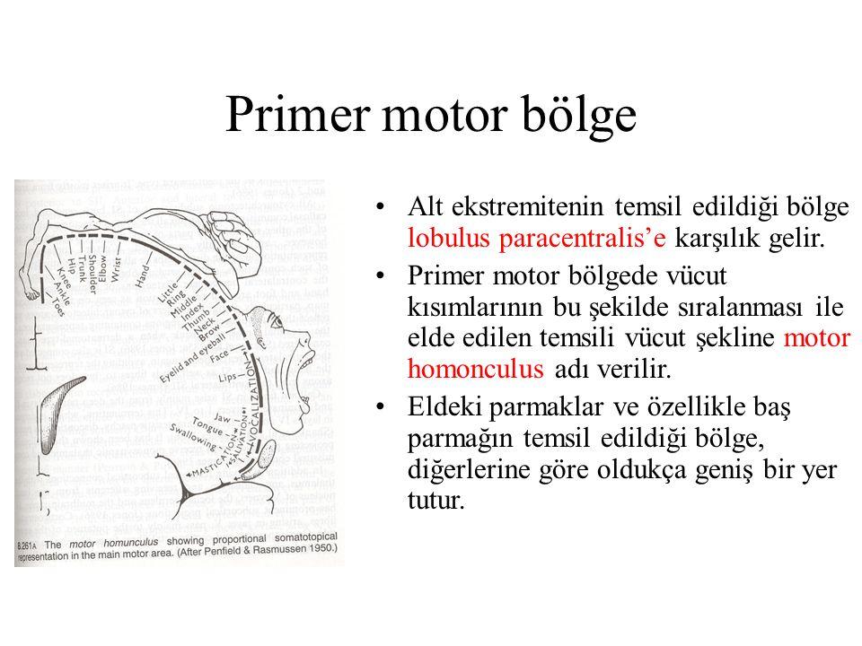 Primer motor bölge Alt ekstremitenin temsil edildiği bölge lobulus paracentralis'e karşılık gelir. Primer motor bölgede vücut kısımlarının bu şekilde