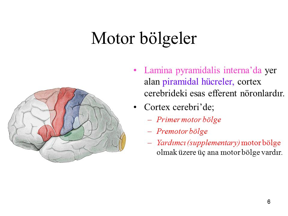 6 Motor bölgeler Lamina pyramidalis interna'da yer alan piramidal hücreler, cortex cerebrideki esas efferent nöronlardır. Cortex cerebri'de; –Primer m