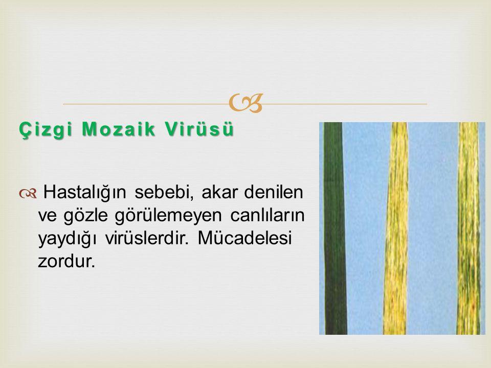  Çizgi Mozaik Virüsü  Hastalığın sebebi, akar denilen ve gözle görülemeyen canlıların yaydığı virüslerdir. Mücadelesi zordur.