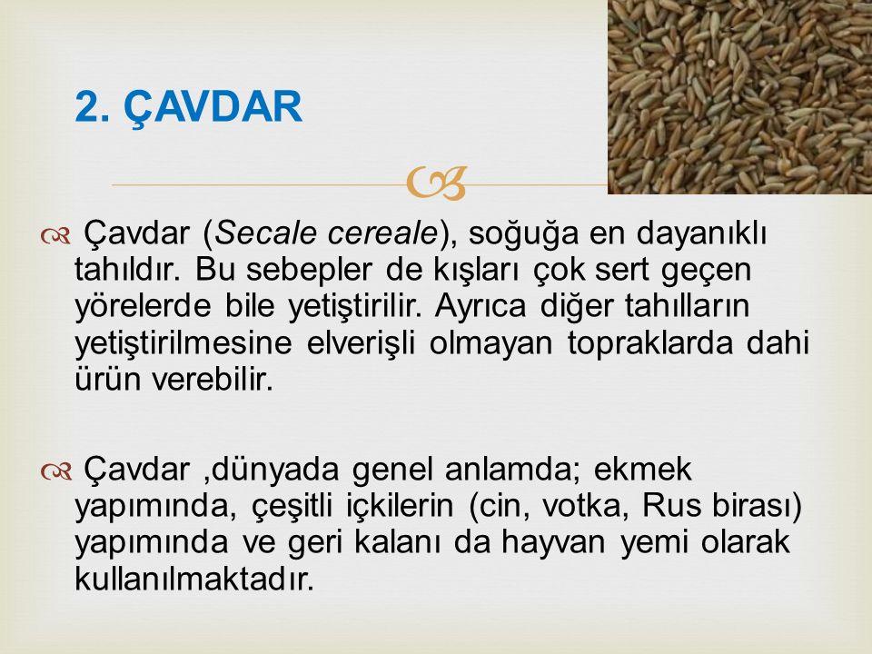   Çavdar (Secale cereale), soğuğa en dayanıklı tahıldır. Bu sebepler de kışları çok sert geçen yörelerde bile yetiştirilir. Ayrıca diğer tahılların