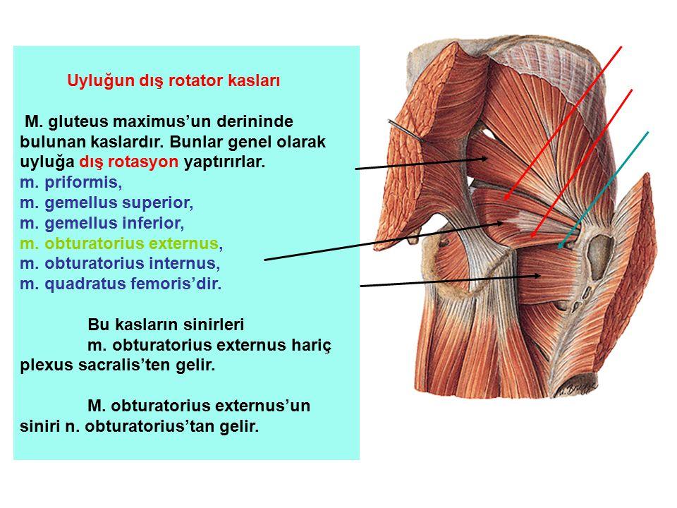 Uyluğun dış rotator kasları M. gluteus maximus'un derininde bulunan kaslardır. Bunlar genel olarak uyluğa dış rotasyon yaptırırlar. m. priformis, m. g