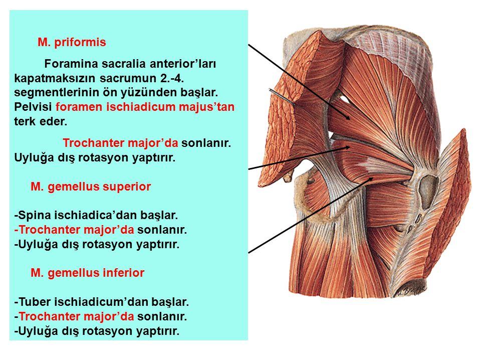 M. priformis Foramina sacralia anterior'ları kapatmaksızın sacrumun 2.-4. segmentlerinin ön yüzünden başlar. Pelvisi foramen ischiadicum majus'tan ter