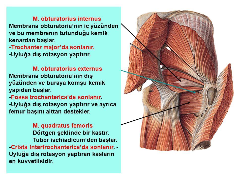 M. obturatorius internus Membrana obturatoria'nın iç yüzünden ve bu membranın tutunduğu kemik kenardan başlar. -Trochanter major'da sonlanır. -Uyluğa