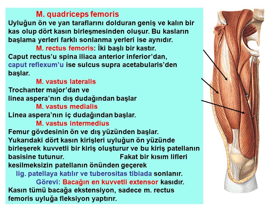 M. quadriceps femoris Uyluğun ön ve yan taraflarını dolduran geniş ve kalın bir kas olup dört kasın birleşmesinden oluşur. Bu kasların başlama yerleri