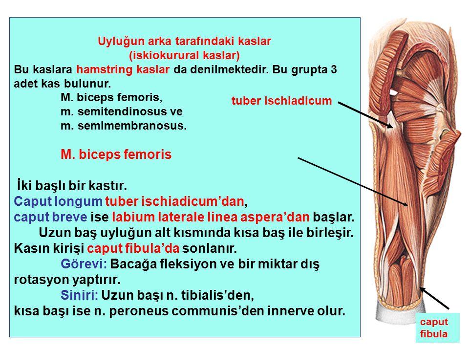 Uyluğun arka tarafındaki kaslar (iskiokurural kaslar) Bu kaslara hamstring kaslar da denilmektedir. Bu grupta 3 adet kas bulunur. M. biceps femoris, m