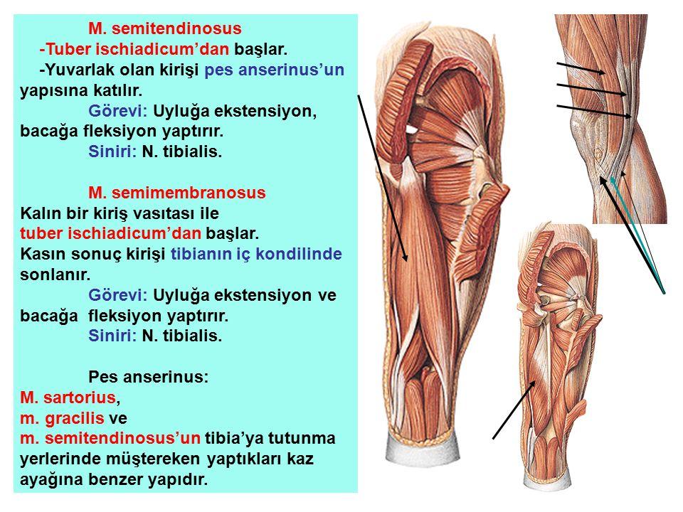 M. semitendinosus -Tuber ischiadicum'dan başlar. -Yuvarlak olan kirişi pes anserinus'un yapısına katılır. Görevi: Uyluğa ekstensiyon, bacağa fleksiyon