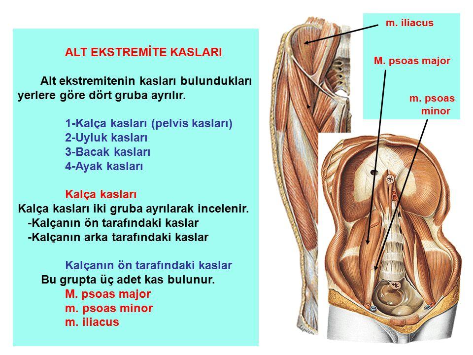 ALT EKSTREMİTE KASLARI Alt ekstremitenin kasları bulundukları yerlere göre dört gruba ayrılır. 1-Kalça kasları (pelvis kasları) 2-Uyluk kasları 3-Baca