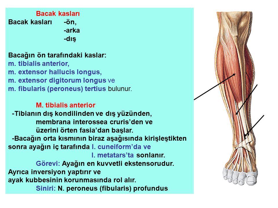Bacak kasları Bacak kasları-ön, -arka -dış Bacağın ön tarafındaki kaslar: m. tibialis anterior, m. extensor hallucis longus, m. extensor digitorum lon