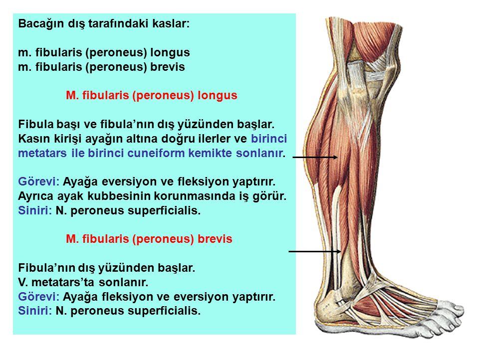 Bacağın dış tarafındaki kaslar: m. fibularis (peroneus) longus m. fibularis (peroneus) brevis M. fibularis (peroneus) longus Fibula başı ve fibula'nın