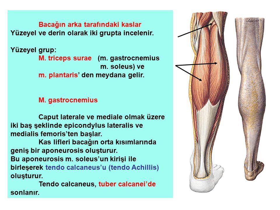 Bacağın arka tarafındaki kaslar Yüzeyel ve derin olarak iki grupta incelenir. Yüzeyel grup: M. triceps surae (m. gastrocnemius m. soleus) ve m. planta