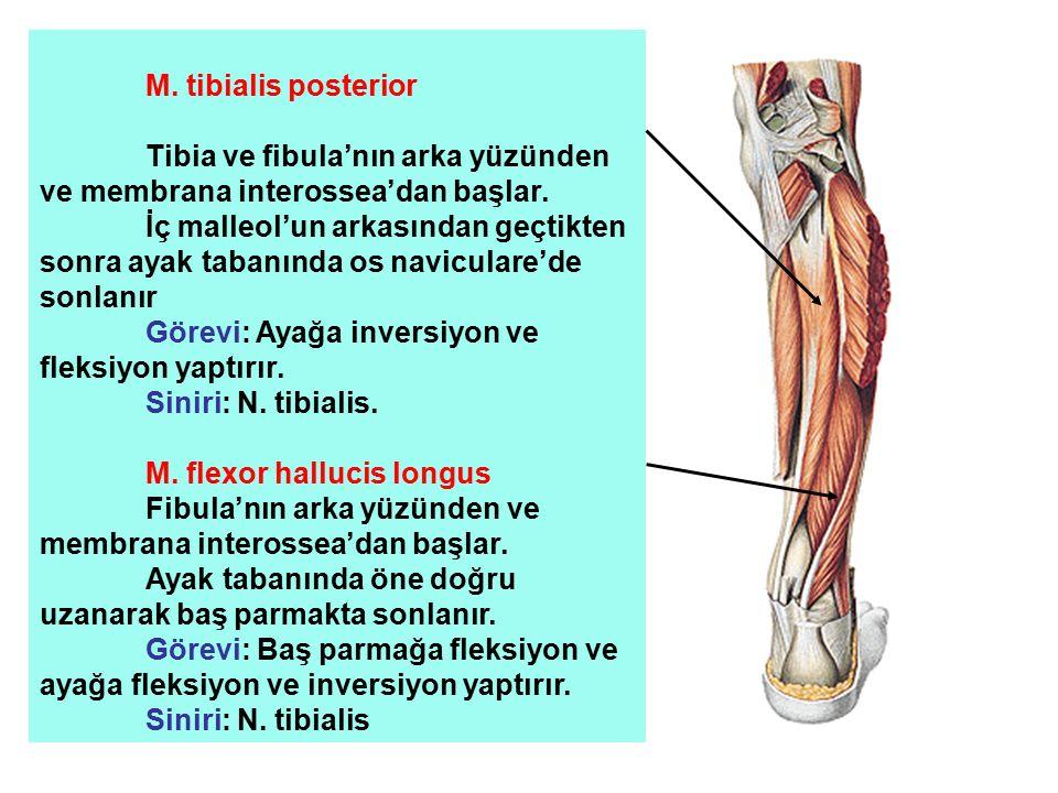 M. tibialis posterior Tibia ve fibula'nın arka yüzünden ve membrana interossea'dan başlar. İç malleol'un arkasından geçtikten sonra ayak tabanında os
