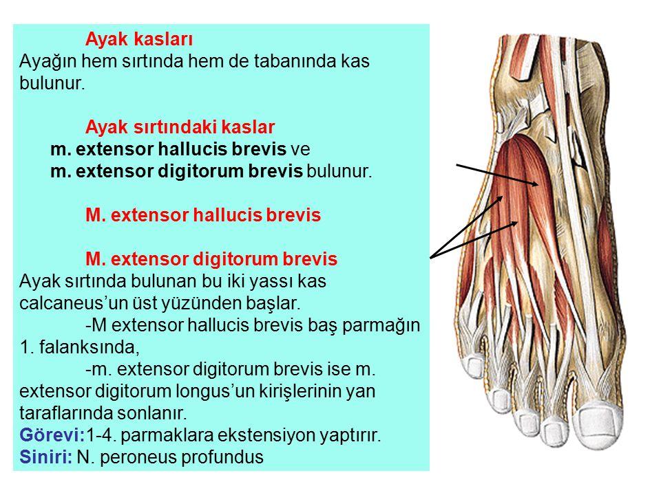 Ayak kasları Ayağın hem sırtında hem de tabanında kas bulunur. Ayak sırtındaki kaslar m. extensor hallucis brevis ve m. extensor digitorum brevis bulu
