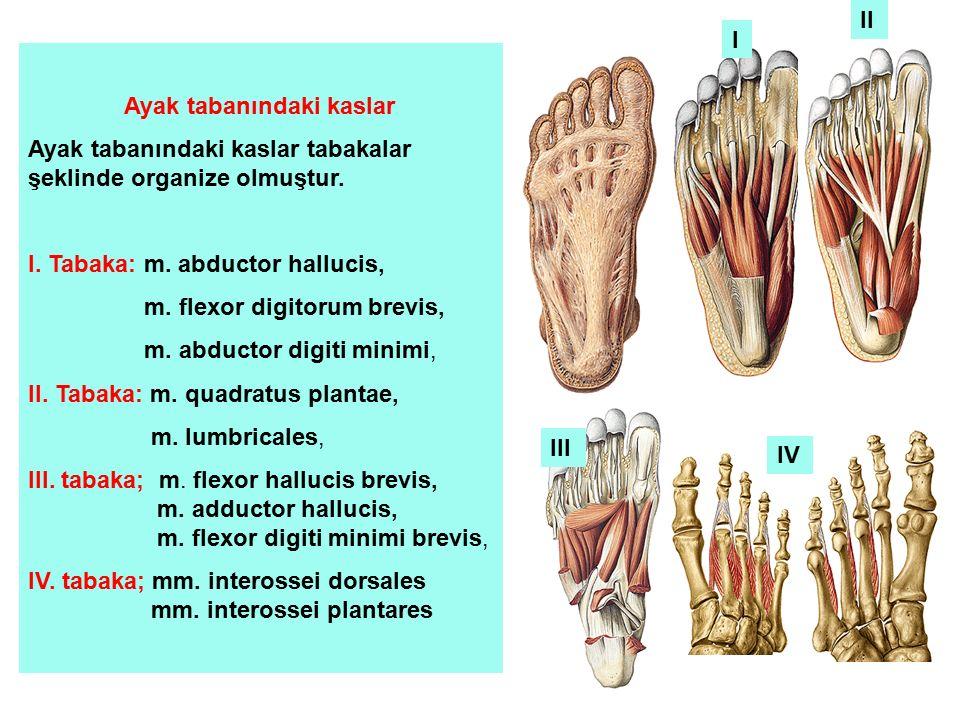 Ayak tabanındaki kaslar Ayak tabanındaki kaslar tabakalar şeklinde organize olmuştur. I. Tabaka: m. abductor hallucis, m. flexor digitorum brevis, m.