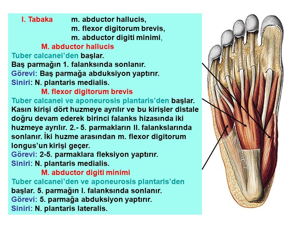 I. Tabaka m. abductor hallucis, m. flexor digitorum brevis, m. abductor digiti minimi, M. abductor hallucis Tuber calcanei'den başlar. Baş parmağın 1.