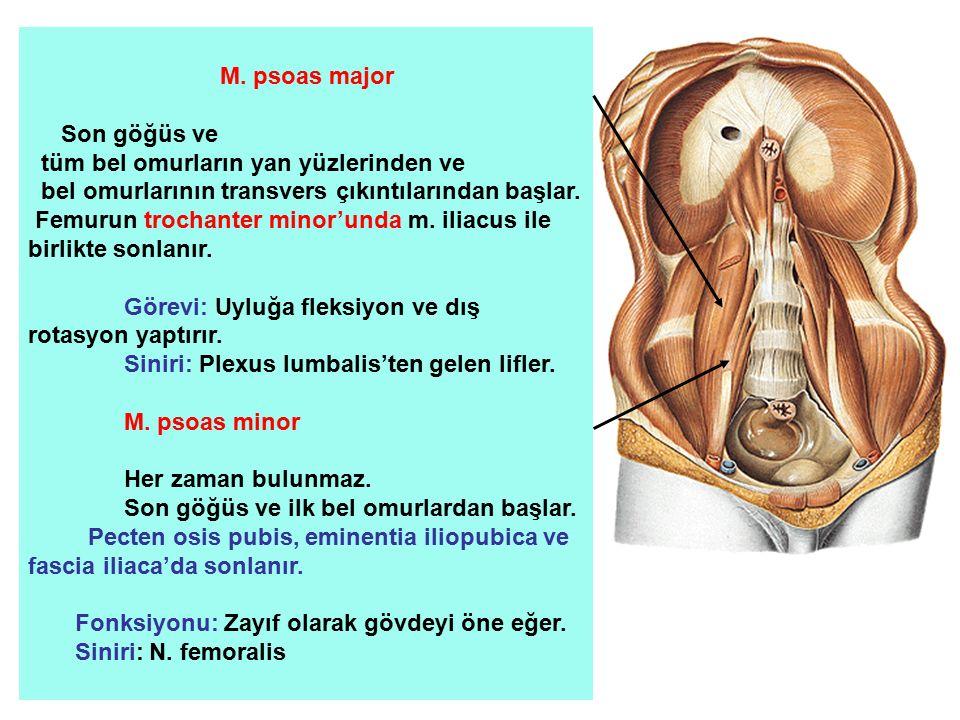 M. psoas major Son göğüs ve tüm bel omurların yan yüzlerinden ve bel omurlarının transvers çıkıntılarından başlar. Femurun trochanter minor'unda m. il