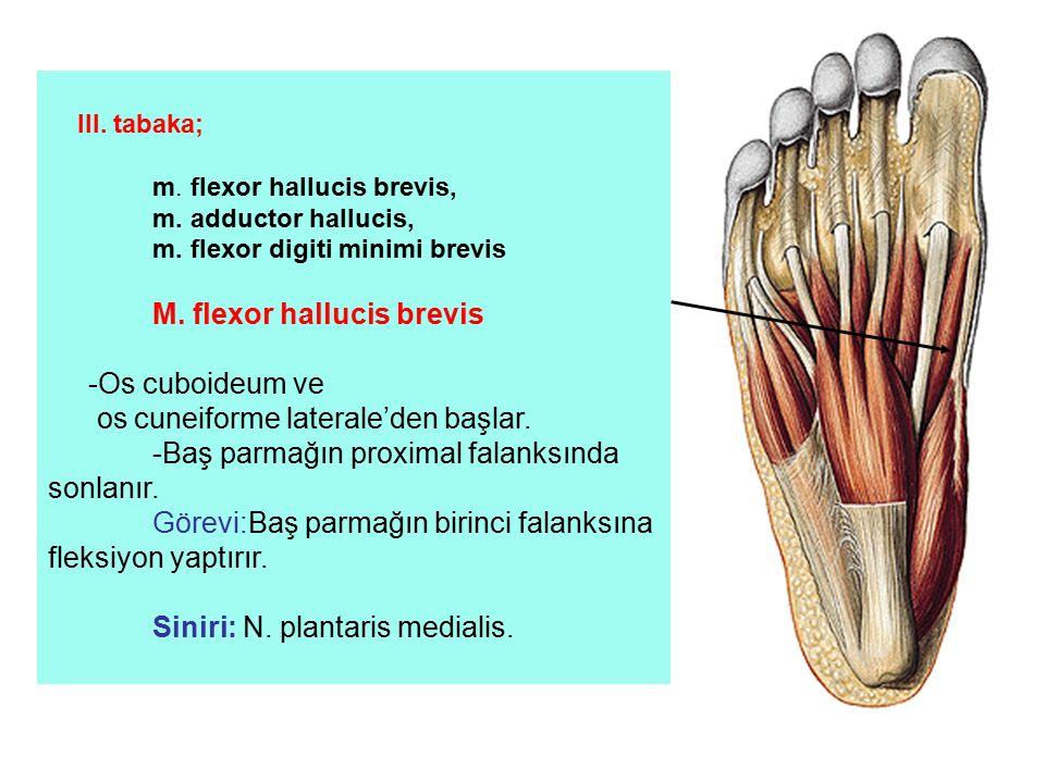 III. tabaka; m. flexor hallucis brevis, m. adductor hallucis, m. flexor digiti minimi brevis M. flexor hallucis brevis -Os cuboideum ve os cuneiforme