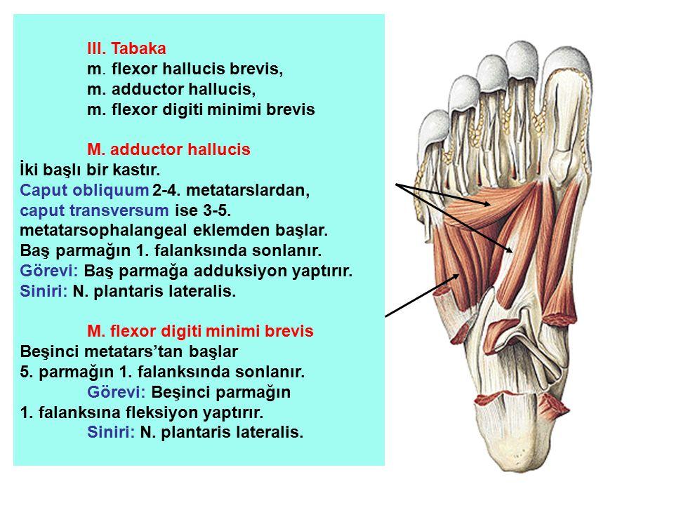 III. Tabaka m. flexor hallucis brevis, m. adductor hallucis, m. flexor digiti minimi brevis M. adductor hallucis İki başlı bir kastır. Caput obliquum
