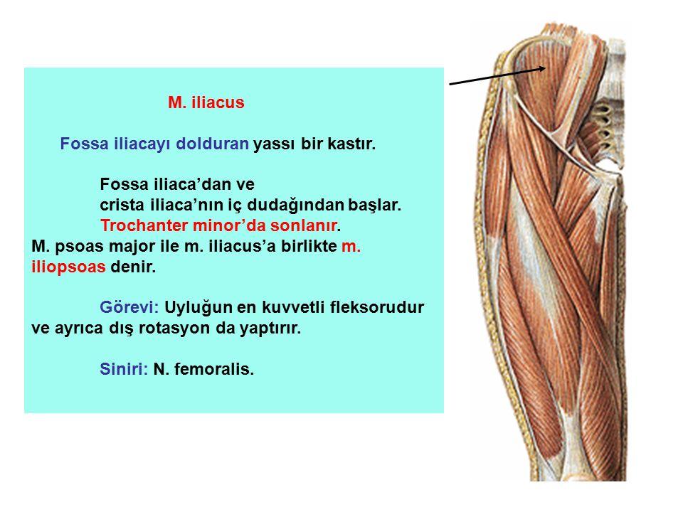 M. iliacus Fossa iliacayı dolduran yassı bir kastır. Fossa iliaca'dan ve crista iliaca'nın iç dudağından başlar. Trochanter minor'da sonlanır. M. psoa