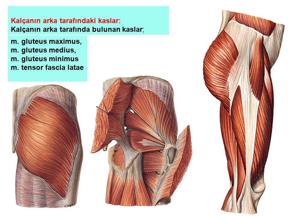 Kalçanın arka tarafındaki kaslar: Kalçanın arka tarafında bulunan kaslar; m. gluteus maximus, m. gluteus medius, m. gluteus minimus m. tensor fascia l