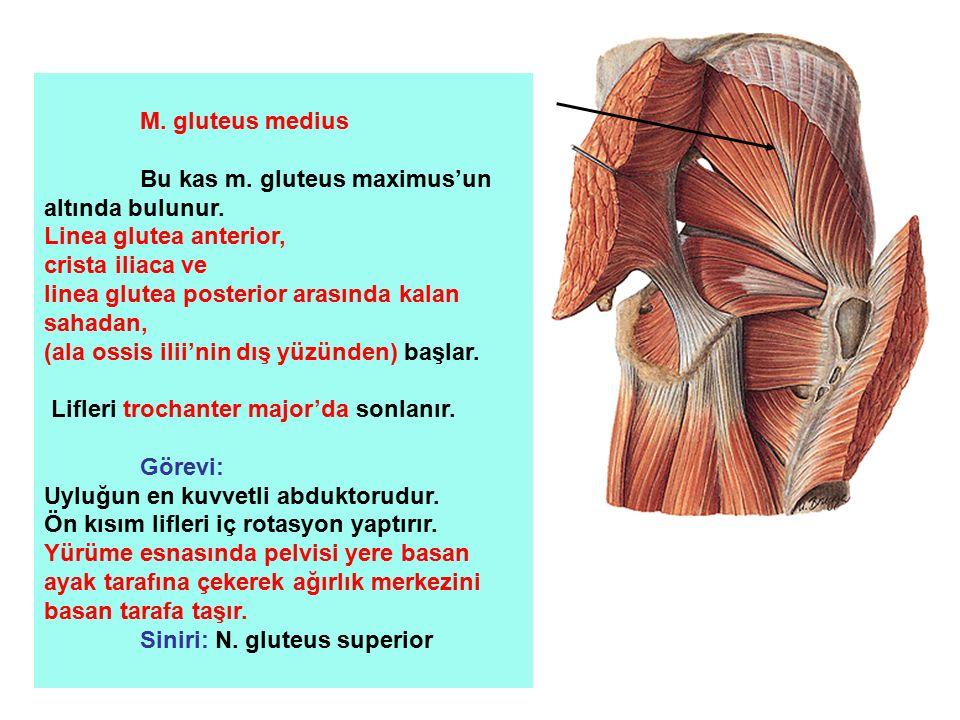 M. gluteus medius Bu kas m. gluteus maximus'un altında bulunur. Linea glutea anterior, crista iliaca ve linea glutea posterior arasında kalan sahadan,
