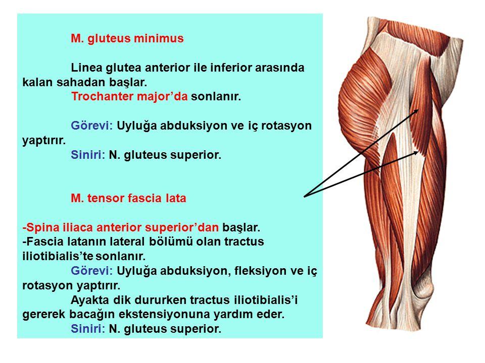 M. gluteus minimus Linea glutea anterior ile inferior arasında kalan sahadan başlar. Trochanter major'da sonlanır. Görevi: Uyluğa abduksiyon ve iç rot