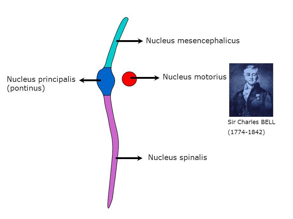 Nucleus mesencephalicus Nucleus principalis (pontinus) Nucleus spinalis Nucleus motorius Sir Charles BELL (1774-1842)