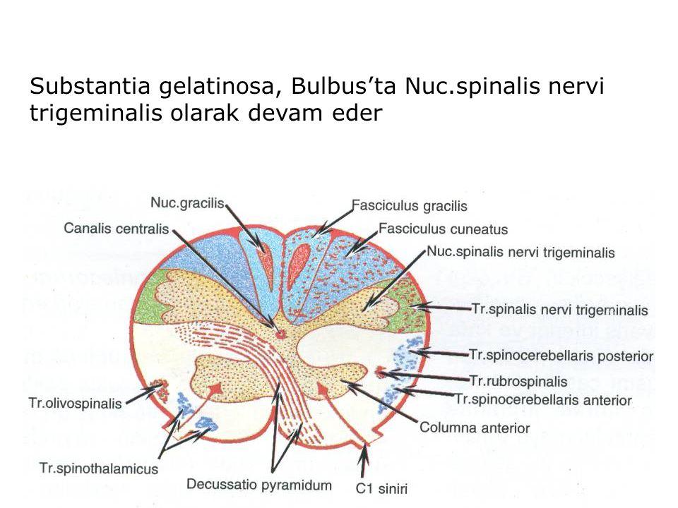 Substantia gelatinosa, Bulbus'ta Nuc.spinalis nervi trigeminalis olarak devam eder