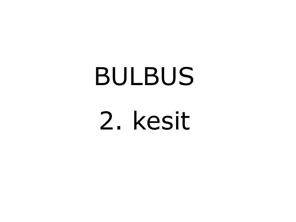BULBUS 2. kesit