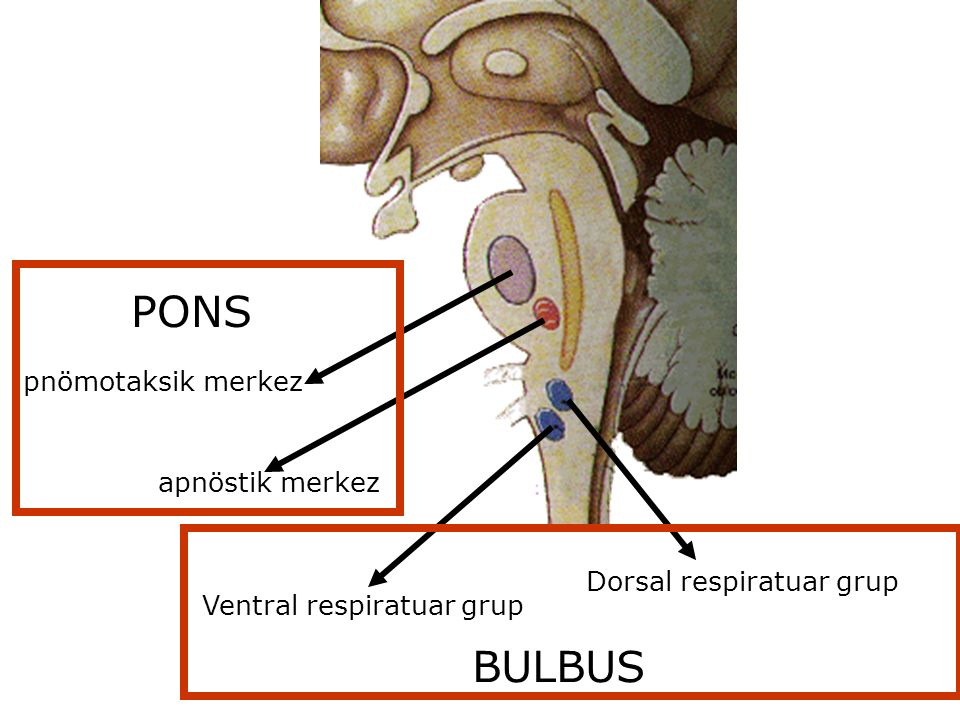 apnöstik merkez pnömotaksik merkez Ventral respiratuar grup Dorsal respiratuar grup BULBUS PONS
