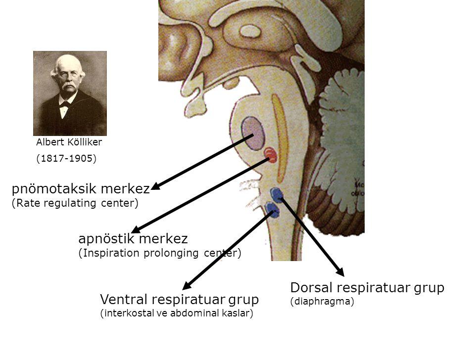 apnöstik merkez (Inspiration prolonging center) pnömotaksik merkez (Rate regulating center) Ventral respiratuar grup (interkostal ve abdominal kaslar) Dorsal respiratuar grup (diaphragma) Albert Kölliker (1817-1905)