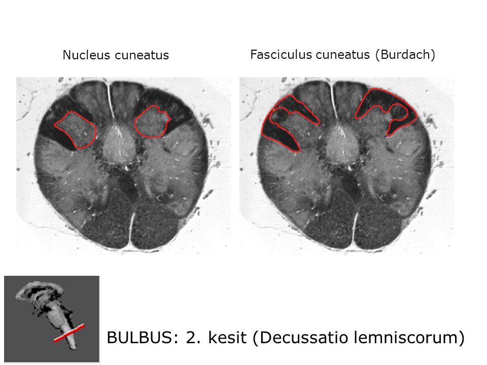 BULBUS: 2. kesit (Decussatio lemniscorum) Nucleus cuneatus Fasciculus cuneatus (Burdach)