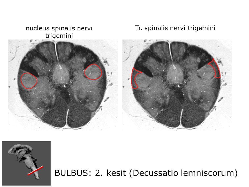 BULBUS: 2. kesit (Decussatio lemniscorum) nucleus spinalis nervi trigemini Tr.