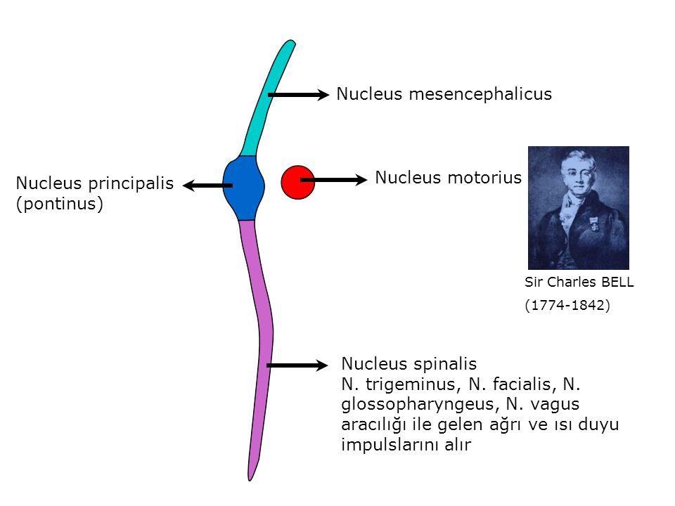 Nucleus mesencephalicus Nucleus principalis (pontinus) Nucleus spinalis N.