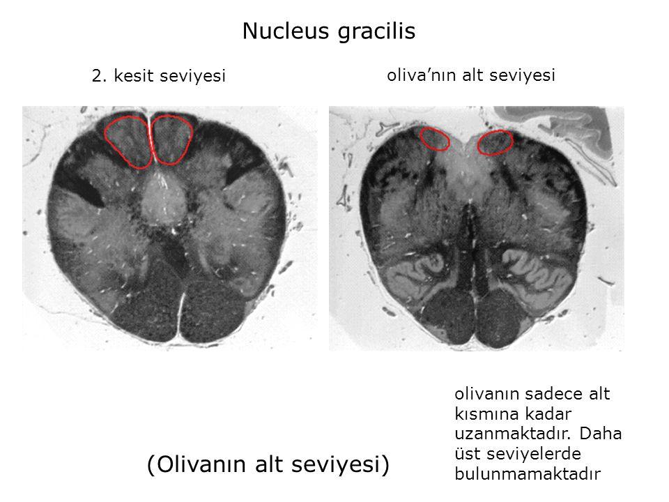 2. kesit seviyesi oliva'nın alt seviyesi Nucleus gracilis (Olivanın alt seviyesi) olivanın sadece alt kısmına kadar uzanmaktadır. Daha üst seviyelerde