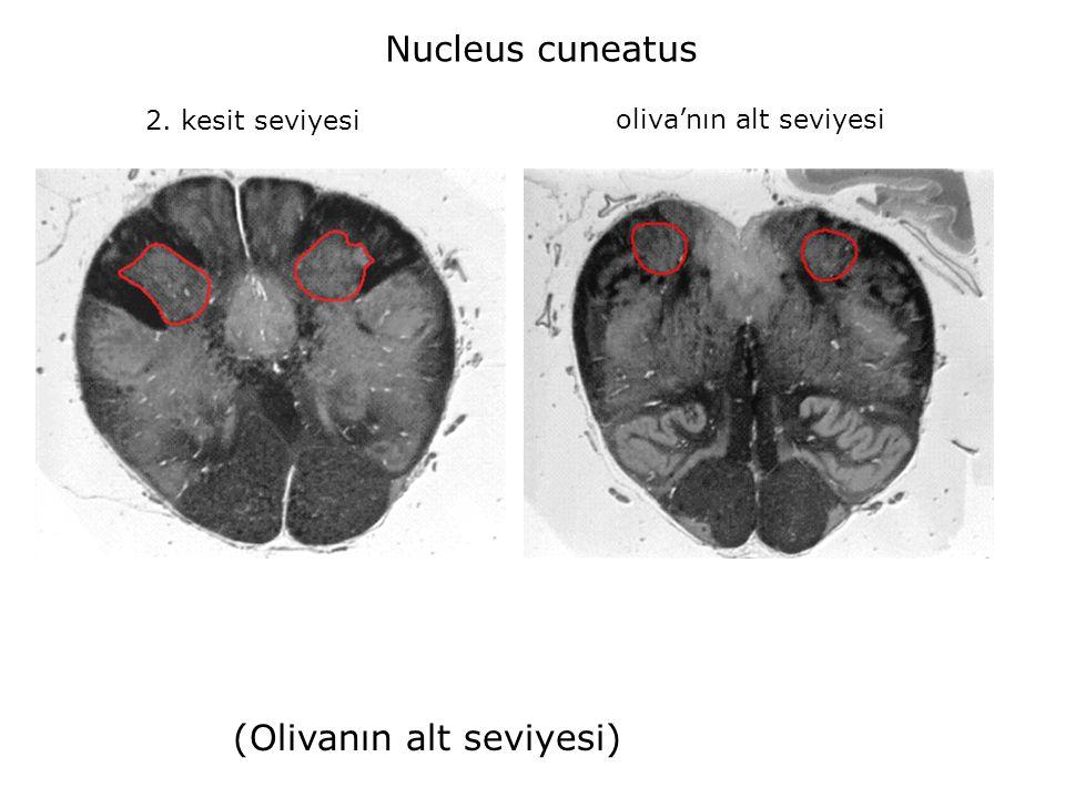 2. kesit seviyesi oliva'nın alt seviyesi Nucleus cuneatus (Olivanın alt seviyesi)