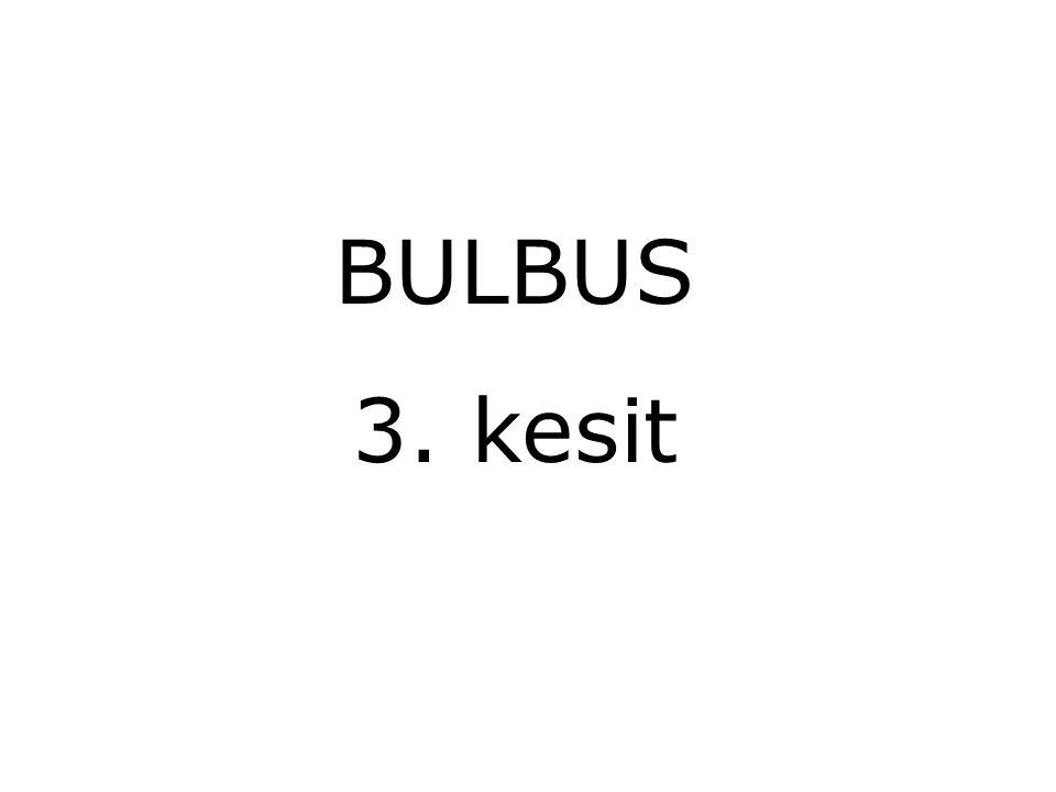 BULBUS 3. kesit