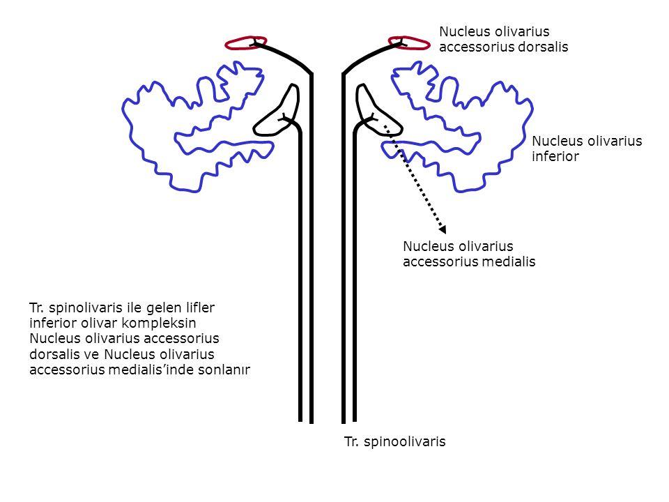 Nucleus olivarius accessorius dorsalis Nucleus olivarius inferior Nucleus olivarius accessorius medialis Tr.