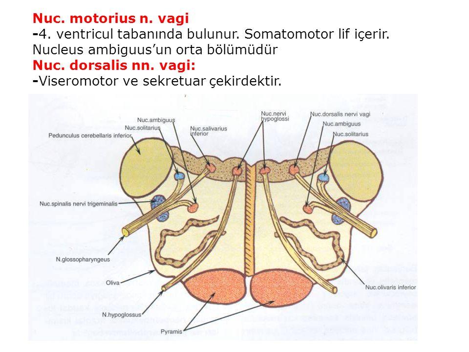 Nuc. motorius n. vagi -4. ventricul tabanında bulunur.