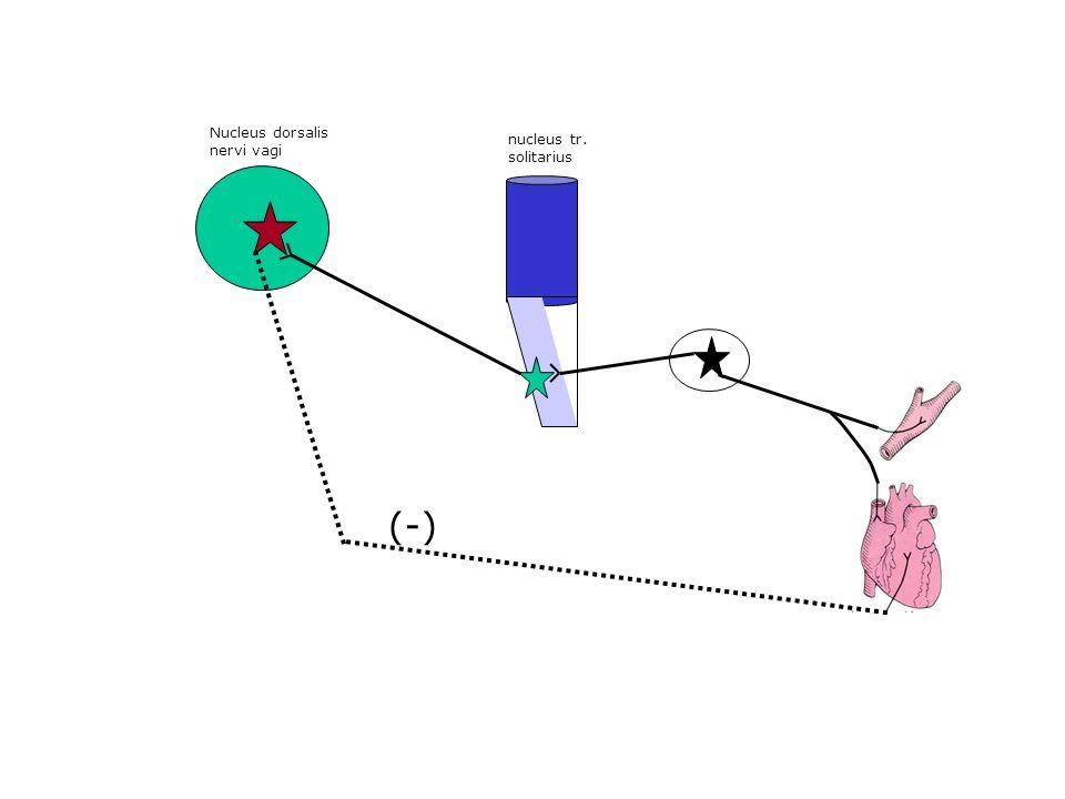 Nucleus dorsalis nervi vagi nucleus tr. solitarius (-)