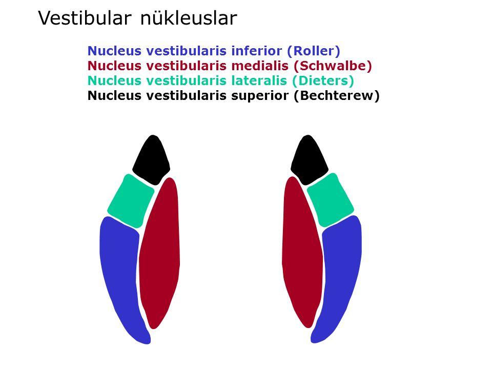 Vestibular nükleuslar Nucleus vestibularis inferior (Roller) Nucleus vestibularis medialis (Schwalbe) Nucleus vestibularis lateralis (Dieters) Nucleus vestibularis superior (Bechterew)