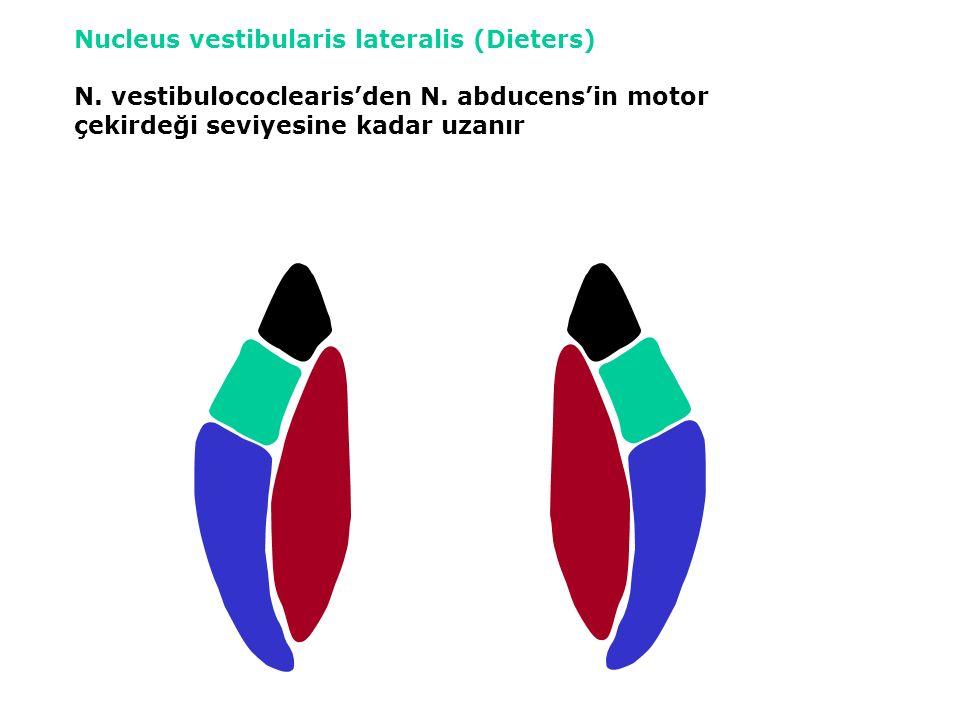 Nucleus vestibularis lateralis (Dieters) N. vestibulococlearis'den N.