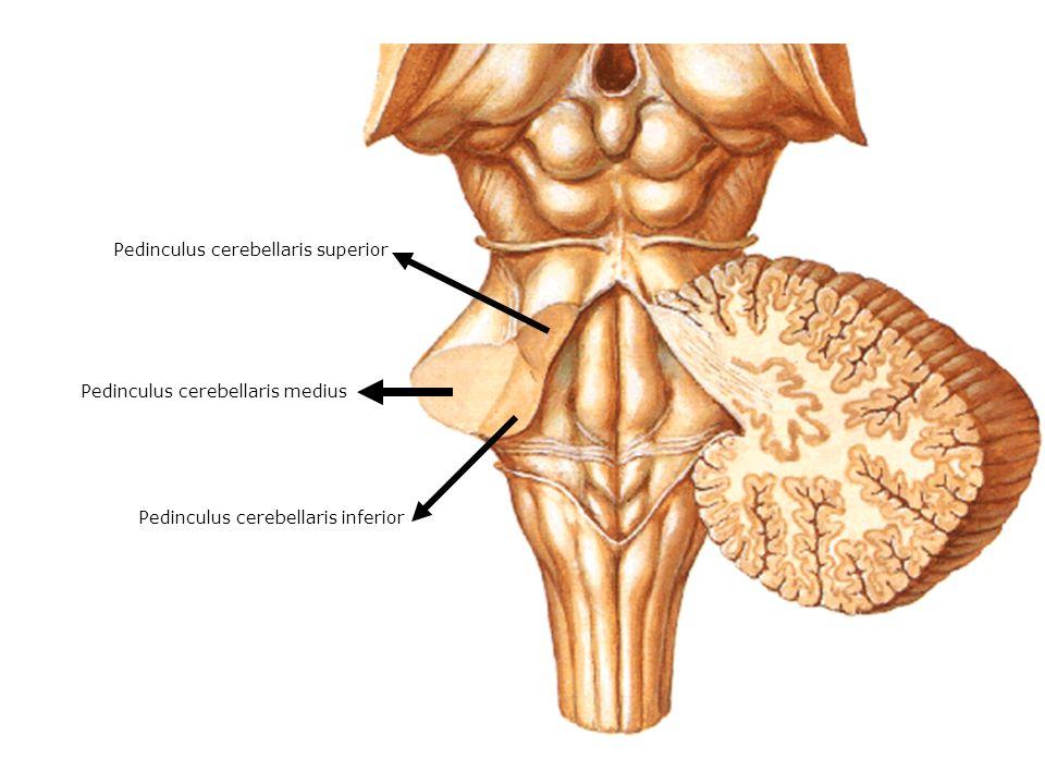 Pedinculus cerebellaris inferior Pedinculus cerebellaris medius Pedinculus cerebellaris superior